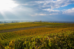 Vineyards in autumn stock image
