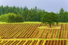 Dundee Hills Vineyards in Oregon. Vineyards autumn colors covers the Dundee rolling hills in Dundee, Oregon stock photo