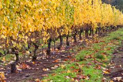 Dundee Hills Vineyards in Oregon. Vineyards autumn colors covers the Dundee rolling hills in Dundee, Oregon Royalty Free Stock Images