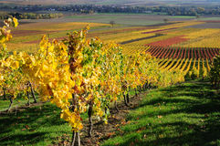 Vineyards in autumn colours. Stock Photos