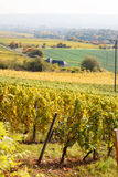 Vineyards in autumn in Germany region Rheingau Stock Photo