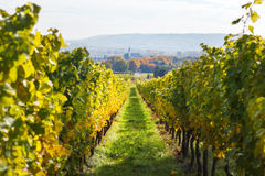 Vineyards in autumn in Germany region Rheingau Stock Image