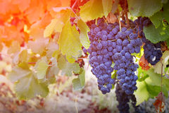 Vineyards in autumn harvest Royalty Free Stock Photos