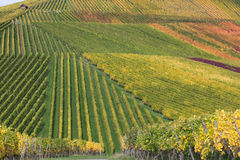 Vineyards in autumn during harvest Royalty Free Stock Photos