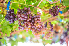 Vineyards autumn harvest. Ripe grapes in fall. stock images