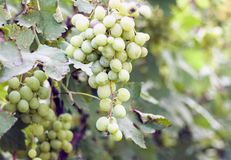Vineyards in autumn harvest, ripe green grapes.  stock photography
