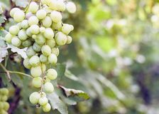 Vineyards in autumn harvest, ripe green grapes.  stock images