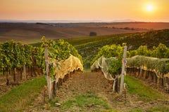 Vineyards in autumn harvest Stock Photos