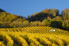 Vineyards in autumn (Horizontal). Swiss vineyards of La Cote, after the harvest, under a clear blue sky. Space for text in the sky Stock Photos