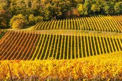 Vineyards in autumn. In Rhenish Pfalz stock photography