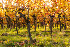Vineyards in autumn. In Rhenish Pfalz royalty free stock image