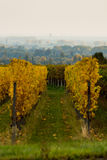 Vineyards in autumn. In Rhenish Pfalz royalty free stock photo