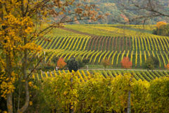 Vineyards in autumn. In Rhenish Pfalz royalty free stock images