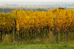 Vineyards in autumn. In Rhenish Pfalz stock photos