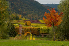 Vineyards in autumn. In Rhenish Pfalz stock image