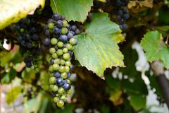 Vineyards in autumn. Ripe purple grapes. Harvesting time. Selective focus.  stock photography
