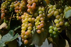 Vineyards in autumn. Ripe white grapes. Harvesting time. Selective focus.  stock image
