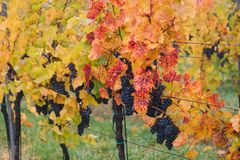 Blue grapes in vineyard near Palava, Southern Moravia, Czech Rep Stock Images