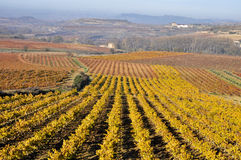 Vineyards In Autumn (Spain) Royalty Free Stock Image