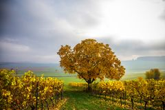 Vineyards in Autumn Time. Sunlight at Vineyards in late Autumn in Germany stock photos