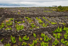 Vineyards of the Azores royalty free stock images