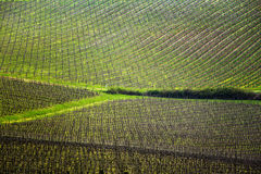 Vineyards. Background of vineyards in the hills of Tuscany in spring, Italy royalty free stock image