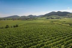 Vineyards_Baden WÃ ¼ rttemberg,德国 免版税库存照片