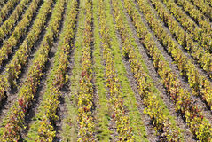 Vineyards in Beaujolais Stock Photo