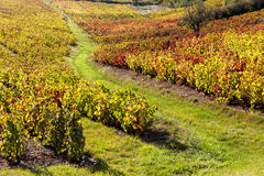 Vineyards of Beaujolais. In Rhone-Alpes, France Stock Photography