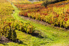 Vineyards of Beaujolais. In Rhone-Alpes, France Royalty Free Stock Images