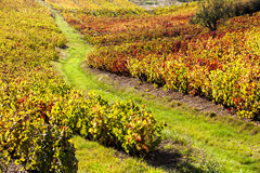 Vineyards of Beaujolais Stock Images