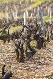 Vineyards of Beaujolais during springtime Royalty Free Stock Photography
