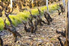 Vineyards of Beaujolais during springtime Stock Photos