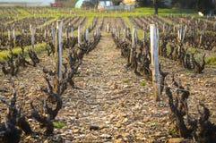 Vineyards of Beaujolais during springtime Stock Photo