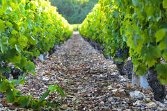 Vineyards of Beaujolais with sunlights of the morning Stock Photography