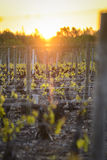Into vineyards of Beaujolais during sunrise, Burgundy, France Royalty Free Stock Photos