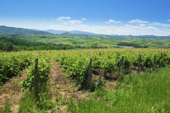 Vineyards on a beautiful summer day Royalty Free Stock Photos