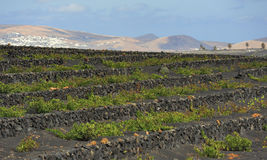 Vineyards at La Geria Valley, Lanzarote Island, Canary Islands, Stock Photo