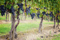 Vineyards of blue grape Royalty Free Stock Photography