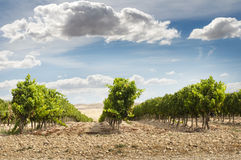 Vineyards and blue sky Stock Photo