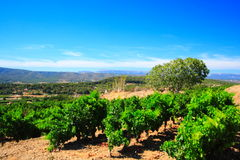 Vineyards and blue sky Royalty Free Stock Photos