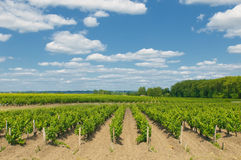 Vineyards in bordeaux Stock Photography