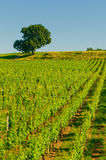 Vineyards in bordeaux Stock Image