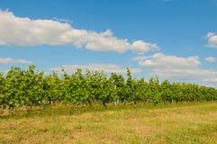 Vineyards in bordeaux Stock Photography