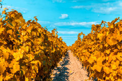 Vineyards in bordeaux, very shallow focus Stock Photo