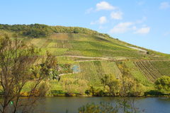 Vineyards briedeler herzchen. On the Moselle in Germany Royalty Free Stock Photography