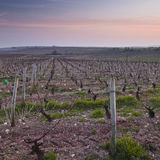 Vineyards of Bue Royalty Free Stock Images
