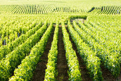 Vineyards, Burgundy Royalty Free Stock Images