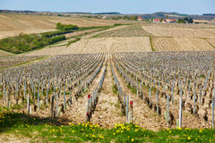 Vineyards in Burgundy in the beginning of the spring Stock Photography