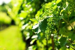 The fields of Friuli Venezia-Giulia cultivated with grapevines. The vineyards of Buttrio in a summer day. Collio Friulano, Udine Province, Friuli Venezia-Giulia stock photos